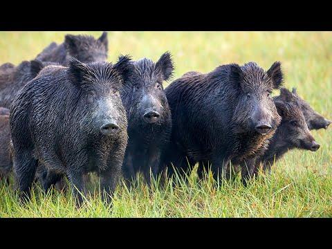 Early Season Archery Hog Hunt on the Ranch! {Catch Clean Cook} Wild Boar Pulled Pork Sandwiches