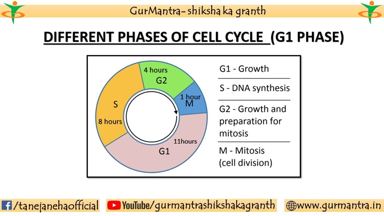 G1 Stage Of Cell Cycle Interphase Of Cell Cycle Cell Biology