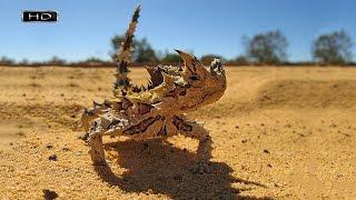 Железная рептилия или колючий дьявол, пританцовывая поглощает муравьиное пюре - Молох (ящерица)