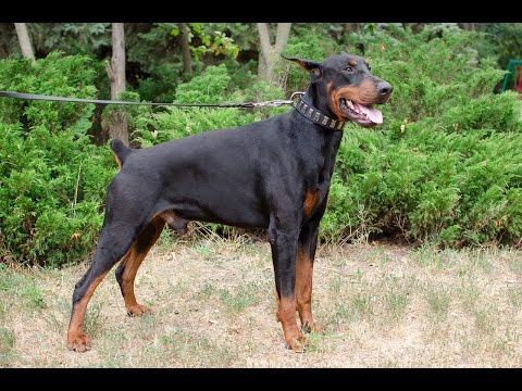 doberman bulldog mix american bulldog training video funnydog tv
