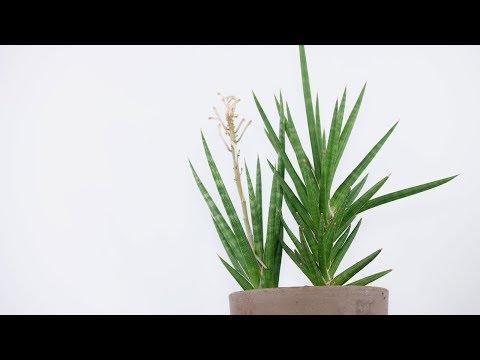 Sansevieria francisii (Snake Plant)