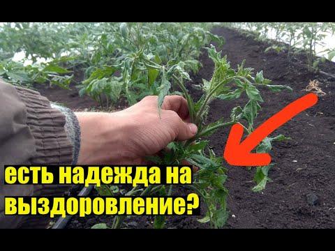Кучерявость листьев томата - продолжение триллера!