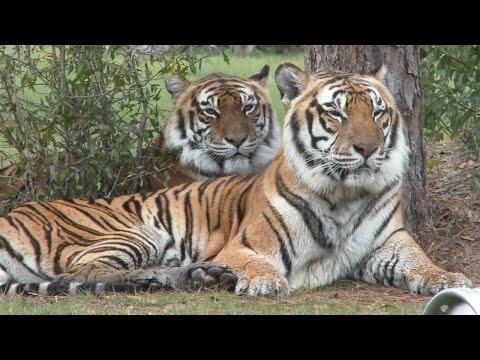 FAQ Friday: Breeding Big Cats