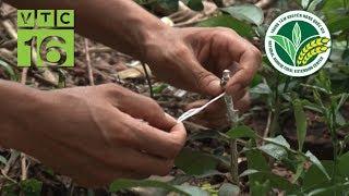 Kỹ thuật ghép mắt cây chanh trên gốc bưởi  | VTC16