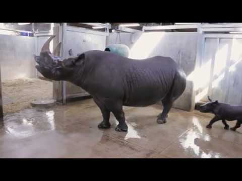None - Des Moines Blank Park Zoo shares VIDEO of baby rhino's first bath