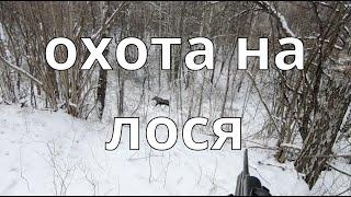 Охота на лося! Удачный и неудачный загон!!! Moose hunting