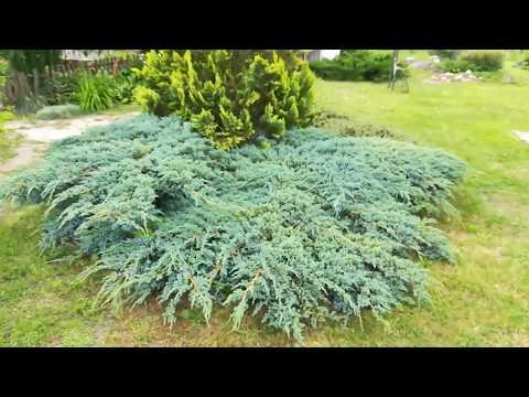 Хвойные в саду. Клумба из 6 растений