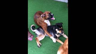 Boxer Dog & Rottweiler Mix Fall In Love In Doggie Daycare In Deerfield Beach At Dogstown University.
