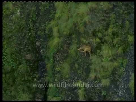 Goral on steep Himalayan slopes...