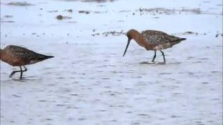 Bar tailed Godwits Crymlyn Burrows 30Apr11