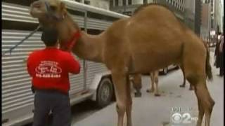 Call 815-600-6464-andreas Chicago Camel Guy!,camel Rides,camel Rental,american Camel Company 1