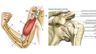 Правильный Бодибилдинг. Травмы плеча. Как вправить сухожилие внешней головки бицепса.