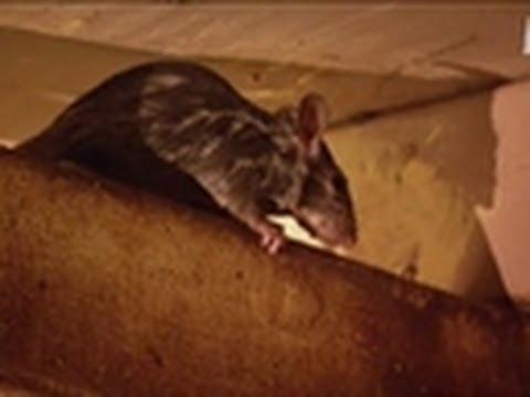 Rats! | Pit Bulls & Parolees