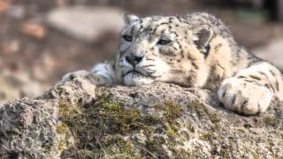 COOL CATS PHOTO - Snow Leopard (Снежный Барс)