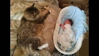BIGGEST CAT - biggest cats in the world - bigger than a lion