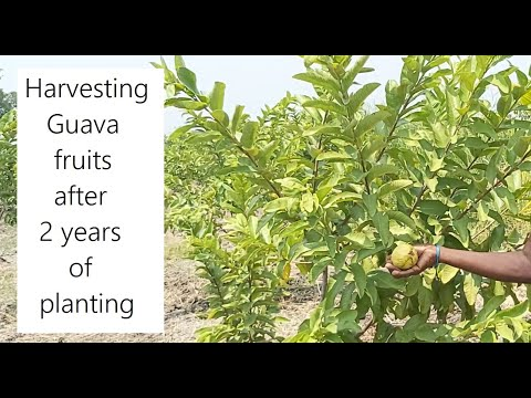 Harvesting guava fruits / Organic Guava Farming / High Density Guava farm in Tamil Nadu