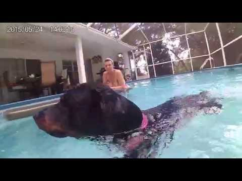 ROTTWEILER SWIMMING IN POOL