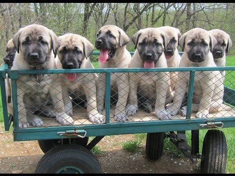 Kangal puppies turn 6 weeks old