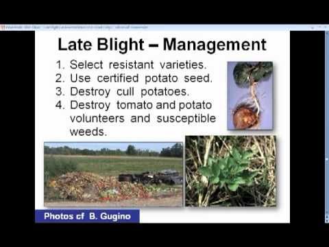 Late Blight Control in Your Organic Garden