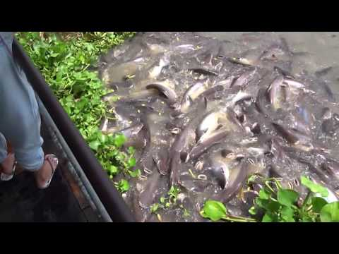 Feeding the Whopper Catfish in the Chao Phraya River in Ayutthaya, Thailand