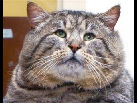 Kucing Raksasa Terbesar Di Seluruh Dunia Video Top 5 Di