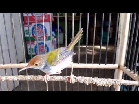 Burung Prenjak Lumut Suara KHAS Dengan 5 Macam Suara VARIATIF
