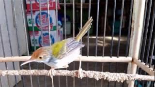 Download lagu Burung Prenjak Lumut Suara KHAS dengan 5 Macam Suara VARIATIF MP3