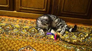 Европейский короткошерстный кот, 8 мес.