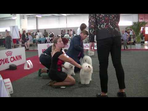 European Dog Show 2016 Bolognese 2