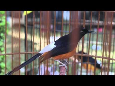 SUARA BURUNG : Adu Tarung Murai Batu Borneo Gacor (Bird Song)