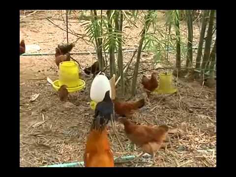 09 การเลี้ยงไก่ไข่อินทรีย์