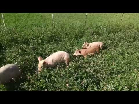 Pasture Pig Update - 2 Months On Pasture