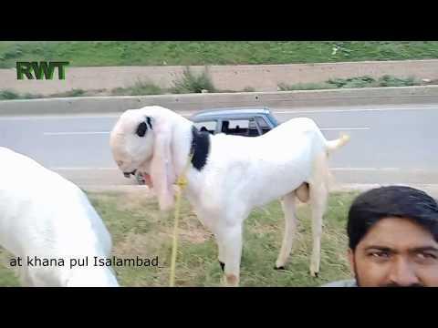 Repeat Islamabad Rawalpindi Bakre sale ho gaye hain M Sabir goat