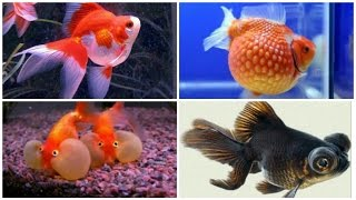 12 kinds of goldfish and their characteristics