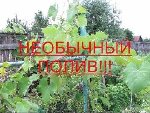 Полив и подкормка винограда. #Полив#Подкормка#сад#огород#