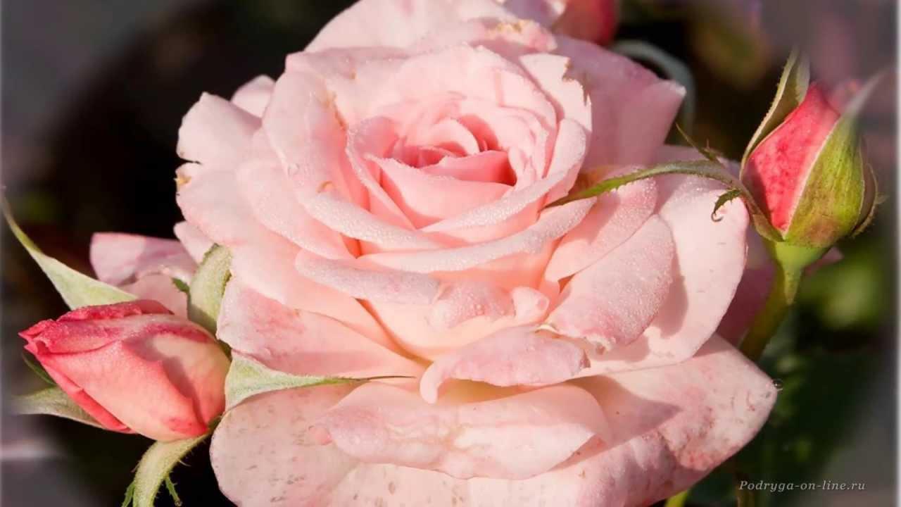 Роза - королева цветов. Красивая музыка, релакс, саксофон ...
