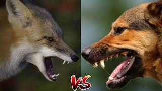 Лиса против Собаки Сможет ли лиса победить собаку