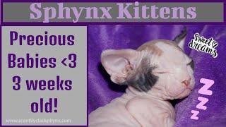 Saya's Sphynx Kittens -  3 weeks old