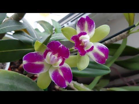 Орхидея Каттлея. Домашнее цветение.