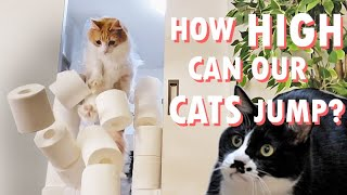 What's the highest toilet paper wall our cats can jump over?
