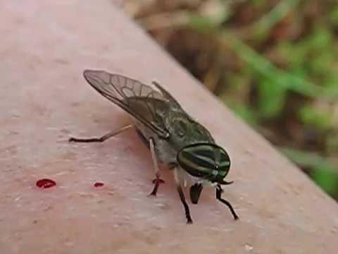 Feeding a Horsefly