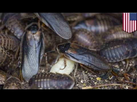 Flying cockroaches: Insects swarm on New York amid summer heat wave - TomoNews