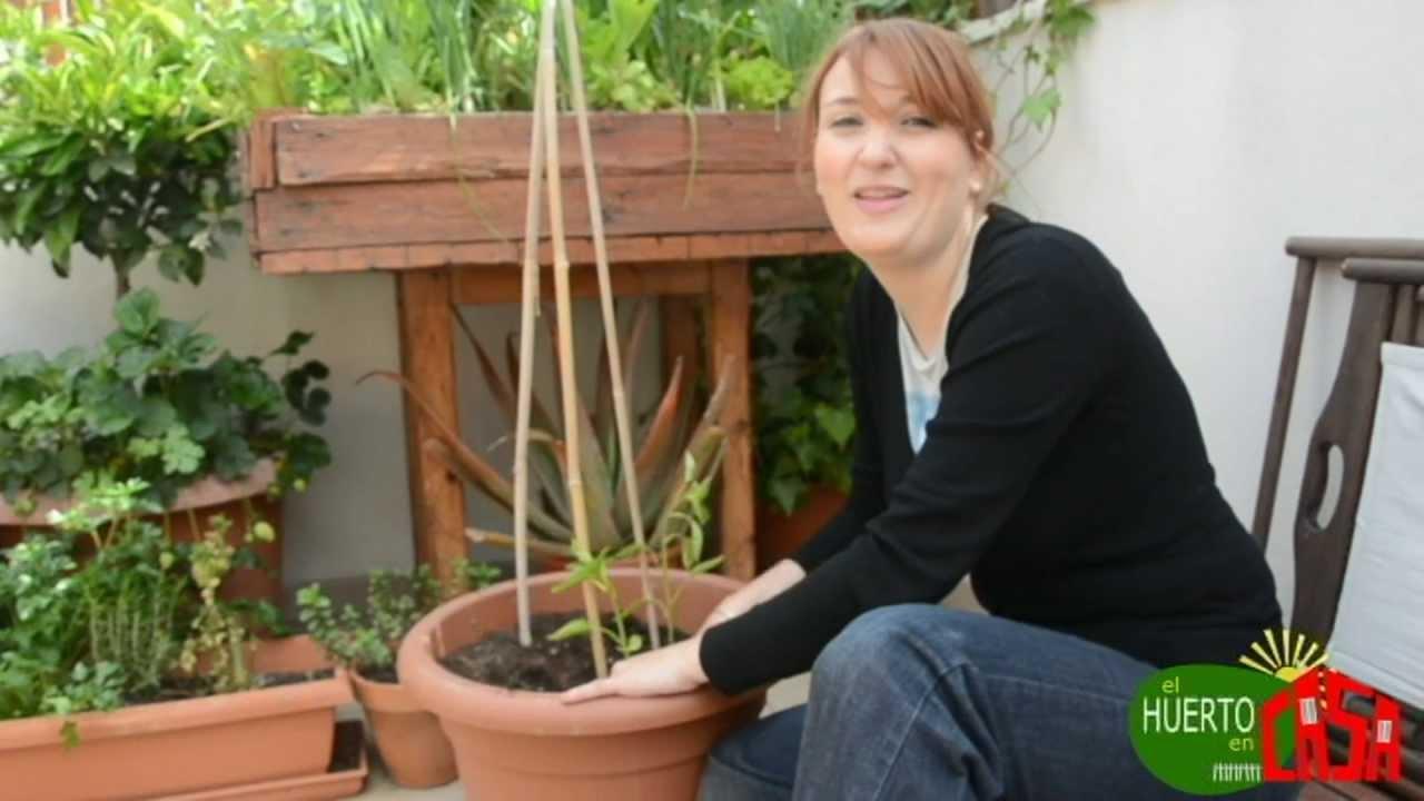 El huerto en casa 25 cultivando pimientos youtube - El huerto en casa ...