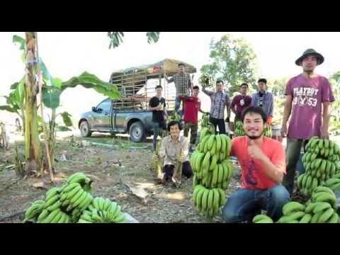 รายการเกษตรยกนิ้ว ตอน กล้วยหอมทอง  คุณภาพส่งออก อ ท่ายาง จ เพชรบุรี