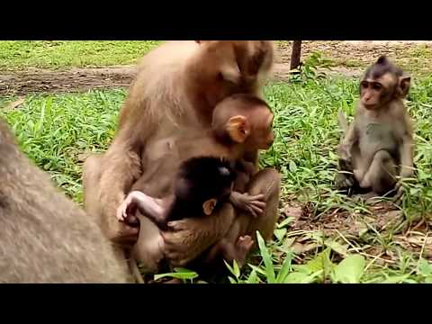 Monkey Steal Babies , Babies Cry Loudly Cos Need Mum ST323