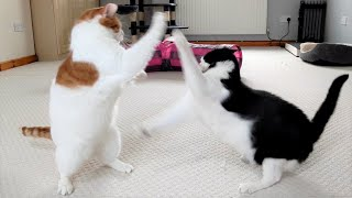 Cats Play Fighting | 4K