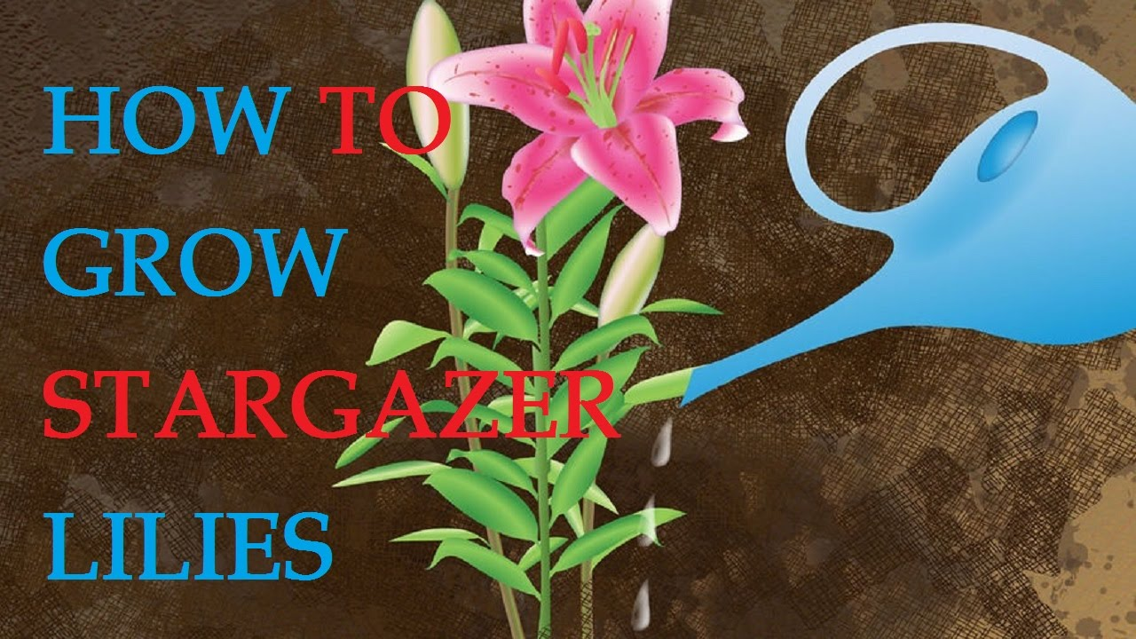 How To Grow Stargazer Lilies Youtube