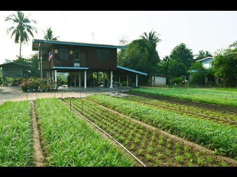 รายได้ใกล้บ้านจากการปลูกผัก - ปลูกกุยช่าย
