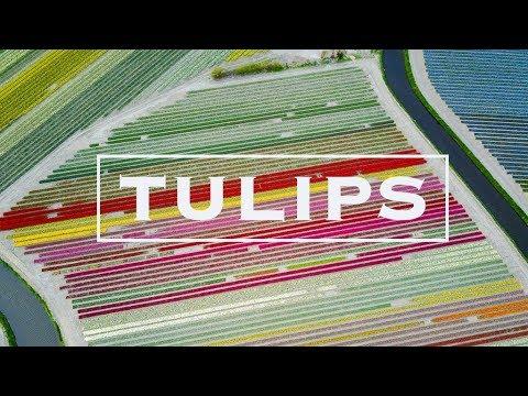 Dutch TULIP Fields & Keukenhof Gardens Netherlands | via Drone