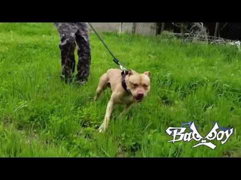 APBT Game Bred Gaine's Turtlebuster x Garners Spike American Pit Bull Terrier